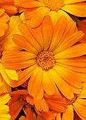 Fleurs de souci Calendula