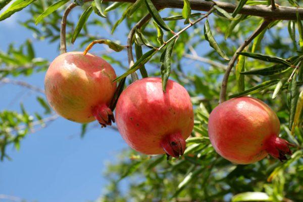 Poudre décorce de grenade fruit